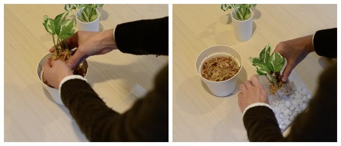 水苔を1時間程、水につけたものを絞って、ポトスの根をやさしく巻きます。その後、折り紙ケースに入れます。余った水苔を周りに詰めましょう。