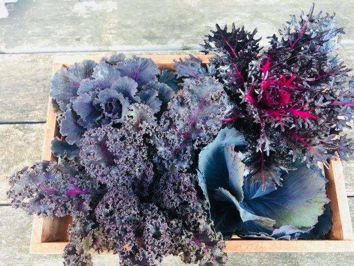 モノクロの世界を思わせるブラック系の葉牡丹です。  同じブラック系でも艶のあるもの、逆に艶を消したメタリックカラーのシルバー系、葉の形が従来の丸葉やちりめんの葉型ではないケール系の多彩なブラックが揃います。  華やかな花壇を引き締める色味として、ブラック系はとても重宝します。  また、シックで大人な雰囲気を作り出してくれるので、最近のクラシックな花色ともよく合います。