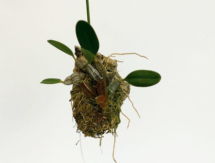 着生ランならではのコルクやヘゴなどに着けて栽培することも可能で、インテリアとしても飾ることができます。