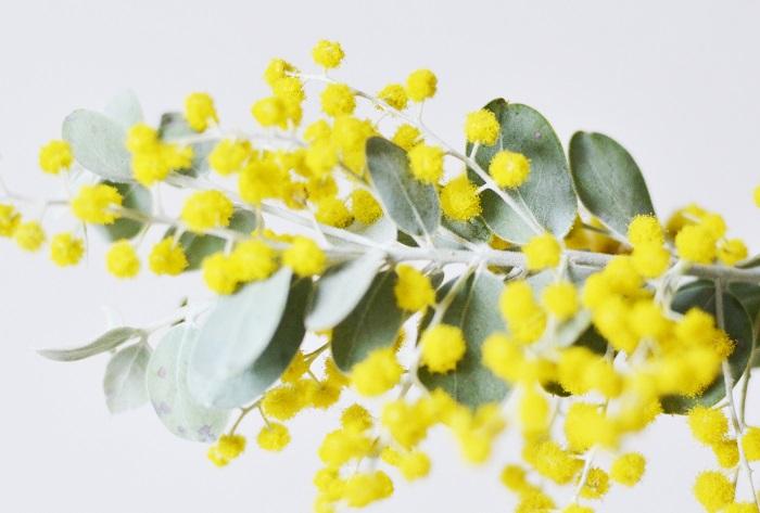 科・属 マメ科・アカシア属 和名 銀葉アカシア 英名 mimosa 学名 Acacia decurrense var.dealbata 原産地 オーストラリア 開花期 2月~4月