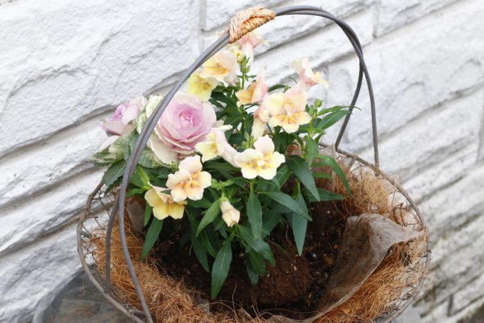 土を入れたら、キンギョソウを中央に植え、三方向に薄ピンクのハボタンを置きます。