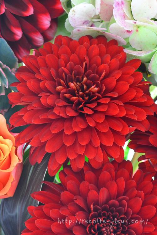 真っ赤な菊(マム)  一瞬、ダリアのように見える咲き方です。