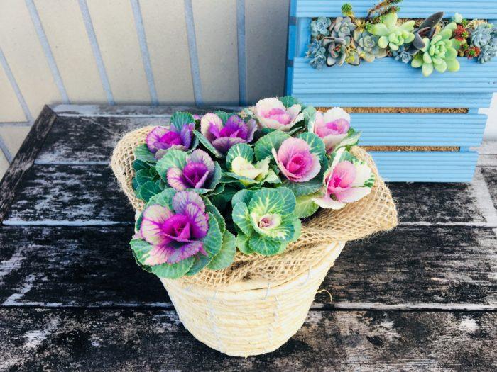 ミニミニ葉牡丹を鉢カバーに入れるだけで、小さな花束のようです。