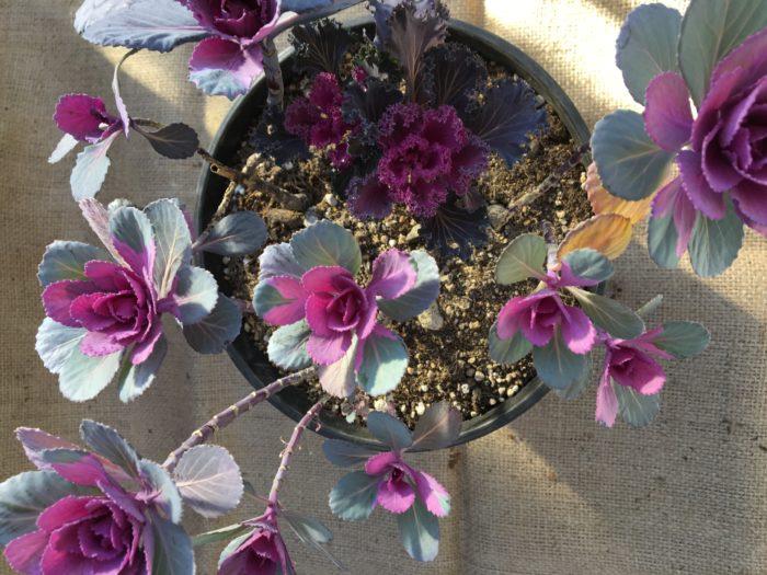 2年目の葉牡丹  花を楽しんだ後は、花茎を切り取りましょう。  そうすることで新しい枝が伸びて、次の年に踊り葉牡丹として一つの株から数個の葉牡丹生えてきます。  本当に葉牡丹が踊っているようですね♪