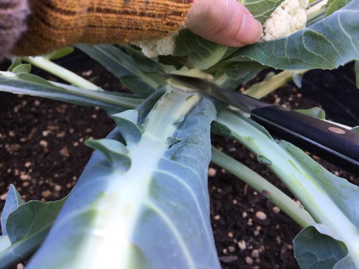カリフラワーはブロッコリーと違い茎が固めなので、花蕾(からい)のすぐ下を包丁などで切り落として収穫します。