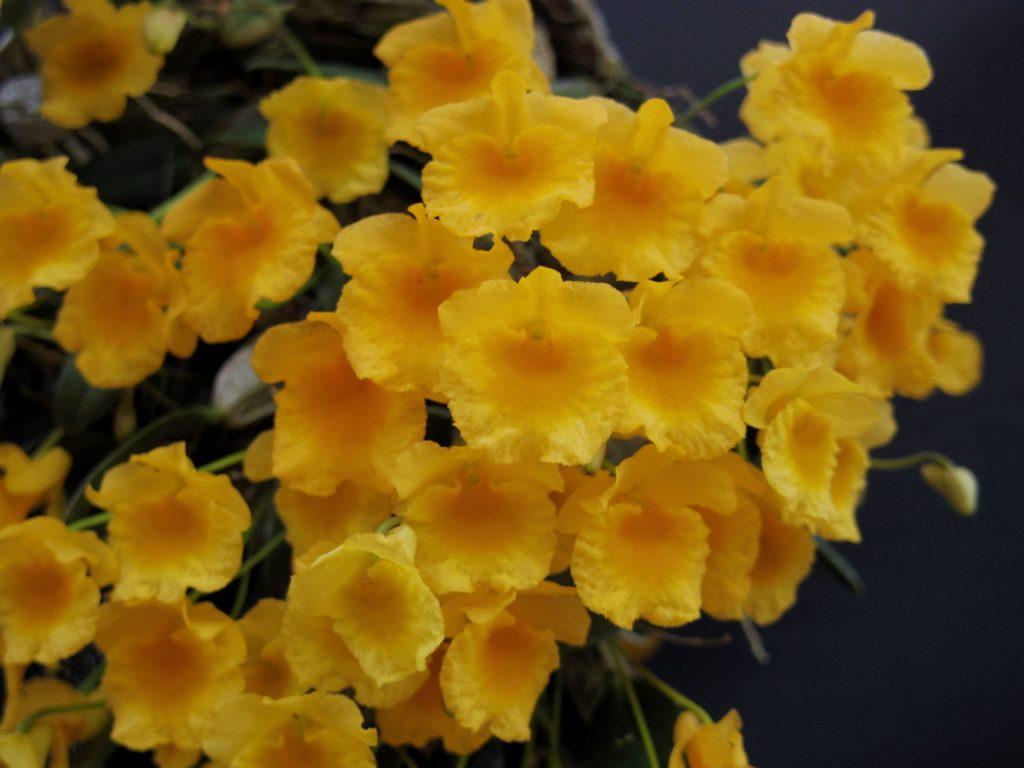 写真提供:清水 柾孝さん  花は丸く濃い黄色で見た目に比べて大きめの花を咲かせる可愛らしいコンパクトなデンドロビウムです。日本では春に開花します。