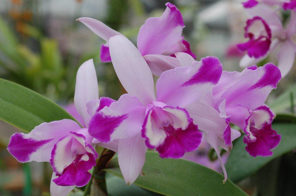 写真提供:清水 柾孝さん  花は様々な色彩変異があり、ピンク、白、青紫、スプラッシュ模様、色の濃淡などあります。