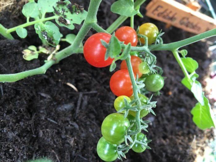 ・上手に育った野菜、育たなかった野菜  例えば、北側で育てた秋冬野菜の生長が思わしくなかったなぁとか、その中でもカリフラワーは順調に生長したなぁ。南側で育てたトマトは大きく生長し、甘くて美味しかったなぁなど…。気付いたことがあれば、メモして来年に生かしましょう。  また、手がかかり過ぎて育てるのが大変な野菜はありませんでしたか?反対に簡単すぎて物足りない野菜はありませんでしたか?ご自身のライフスタイルに合った作物を選んで、身の丈に合う家庭菜園を楽しみましょう。