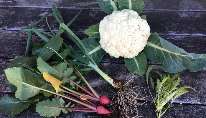 カリフラワーは、ブロッコリーの突然変異で花蕾(からい)の部分が白くアルビノ化したものだといわれているんです。 日本では明治初期に鑑賞用として伝わり、1960年代に食用として一般的に普及し、白い綺麗な野菜として、メインディッシュのつけ合わせに使われてきましたが、1980年代に「緑黄色野菜ブーム」が広まり、ブロッコリーに人気の座を奪われました。 しかし、カリフラワーは癖がなく、生でも食べられるため、サラダやスープなど幅広く利用できる野菜です。 カリフラワーを食べている部分は花蕾(からい)なので、花揶菜(はなやさい)という別名があります。広い意味での食べられるお花「エディブルフラワー」の一種なんです。 12月上旬にカリフラワーをsana gardenで収穫しましたので、生で、茹でて、油で揚げるカリフラワーのレシピをご紹介します。