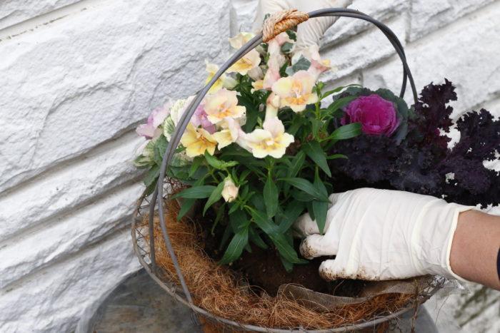 植えるときは穴あきシートを引き上げながら行いましょう。ハープルポップを入れ、キンギョソウとハボタンが引き立つように植え込みます。