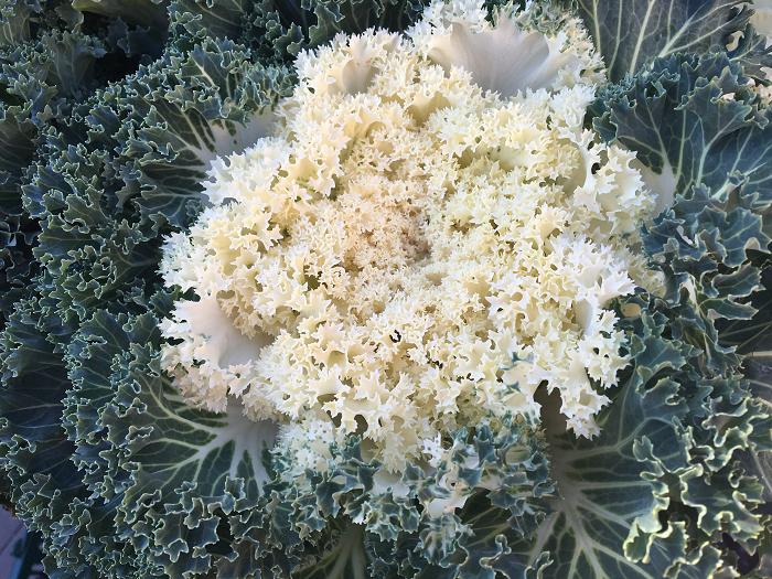 大型葉牡丹  他の花では想像もできないような大きさのバリエーションです。