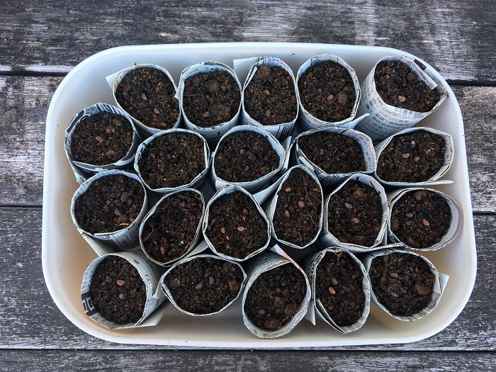 植物の種を育苗するときに使う、小さな育苗ポットも新聞紙で作ることができます。新聞紙はご存知の通りパルプで作られています。新聞紙で堆肥を作っている人がいるほどですから、土にかえることができます。