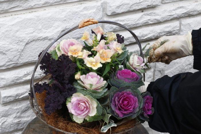 アイビーを四方に広げるように植え、紫のハボタンをバランスよく配置してください。