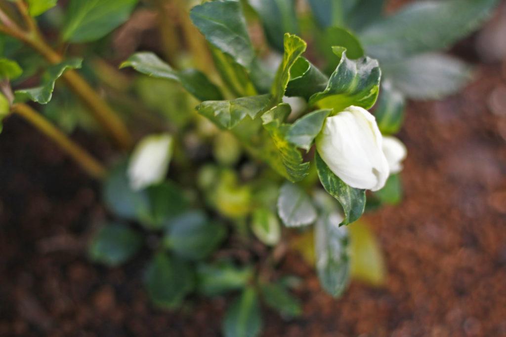 下向きなのに麗しいクリスマスローズ。寒さには強く、霜に当たっても傷みはしますが、枯れることはありません。とはいえ、できれば、低木の足元に植えるか、簡単な霜よけがあるといいようです。寒さに強く霜に当たっても枯れないのですがマイナス5度くらいまで下がると葉っぱが痛み、茎がダラっとなり傷んでしまいます。
