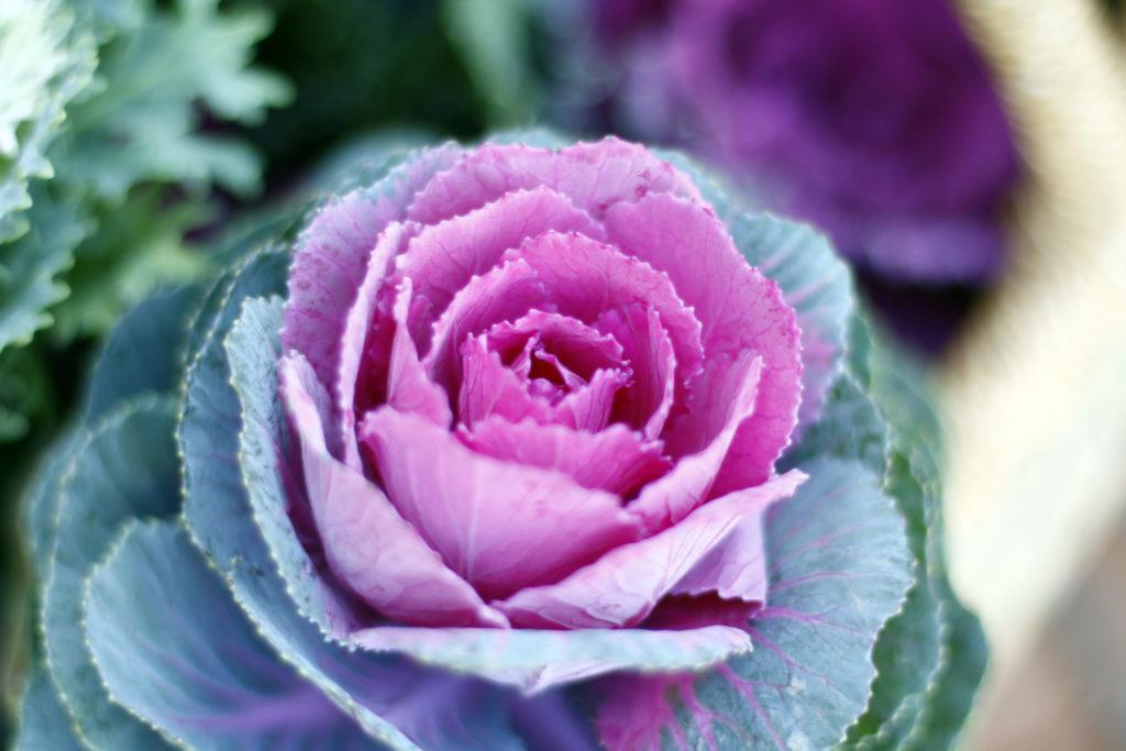 冬のベランダや庭を彩るアブラナ科のハボタン。日当たりのいいところで管理しましょう。