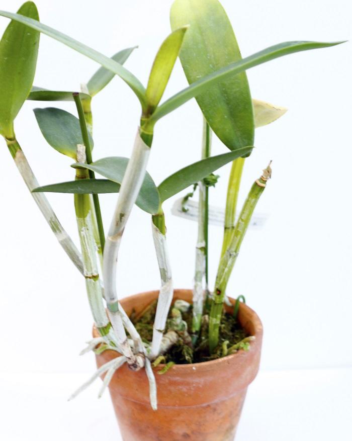特徴 ブラジルに自生する葉が2枚展開する着生ラン。草丈は15~20㎝ほどで細くシャープなバルブが特徴的です。