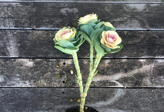 最初から踊り葉牡丹のように仕立てられているものもありますので、高さを出したものが可能になるだけでなく、非常にボリュームのある花壇になります。