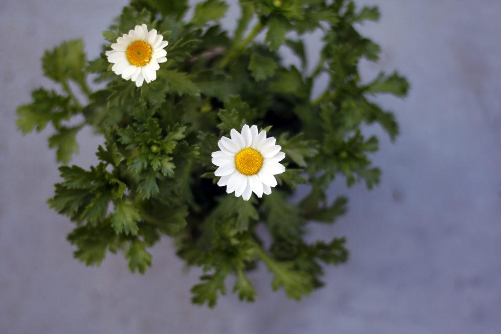 キク科の「ノースポール」は、冬を連想させる真っ白な花。寒さにも強く、冬のガーデニングにバッチリです。