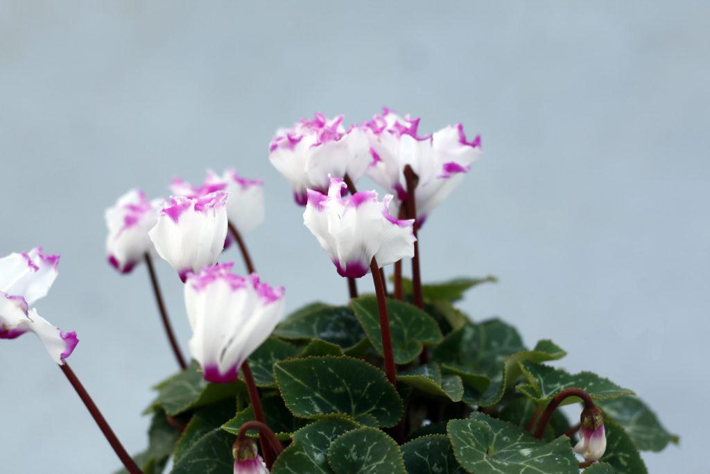 花鉢で人気の高いシクラメン。寒さにも強く、火花のようなお花を咲かせてくれます。霜に当たっても枯れることはありませんが、マイナス5度を下回ると枯れてしまうので、寒冷地では注意が必要です。変わった咲き方のシクラメンもあるので探してみてくださいね。