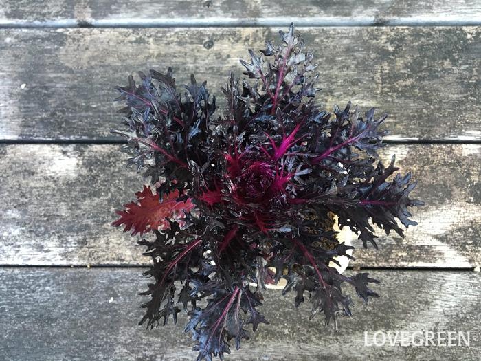 人気のブラック系で、光沢のある艶々の切り葉タイプの葉牡丹もあります。
