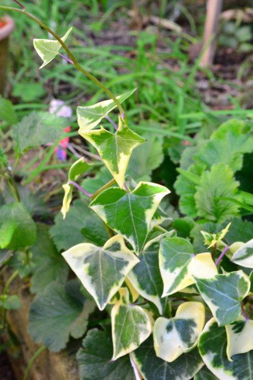 ローズマリーやグニユーカリなど、しならせやすいハーブやアイビーなどのツル性の植物。細かい形状の葉っぱの方が作りやすいです。(大きい葉っぱだとモサモサになりやすい)