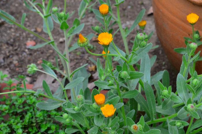 カレンジュラ・冬知らず  「冬知らず」と言う品種名のカレンジュラは、小輪で冬でもたくさんの花を咲かせる品種です。