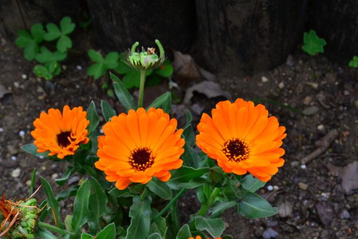 流通始まり11月~花の咲く時期:5月まで  花びらがキラキラと艶のある黄色やオレンジ色の草花、カレンジュラ。性質が強いので育てやすく、開花期間も長いので、冬から春の花壇や寄せ植えに使われています。秋ごろから出回り始める春の一年草です