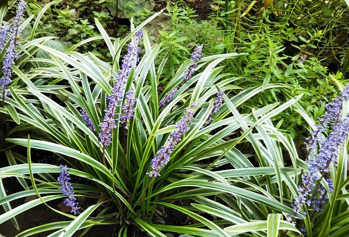 14 ヤブラン ユリ科 耐寒性多年草 観賞期:周年 開花期:8~10月 花色:青紫、白など 草丈:30㎝ほど  日なたから半日陰、水はけのよい用土を好みます。耐陰性があり、日陰でも育ちます。耐寒性が強くとても丈夫です。春に古葉を取る程度で、管理がとても簡単です。葉がグリーンのものと斑入りがあります。