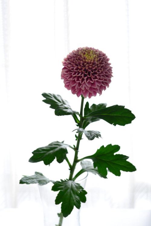 花屋さんで水揚げ処理をされている菊(マム)は、特別なことをしなくても、持ち帰ってすぐに生けることができます。長持ちさせるポイントは花瓶のお水を数日に一回は取り替えて、水を新鮮に保つことです。  また、特に新鮮な菊(マム)は水の吸い上げがよいので、水切れをしないように花瓶の水の量はチェックします。