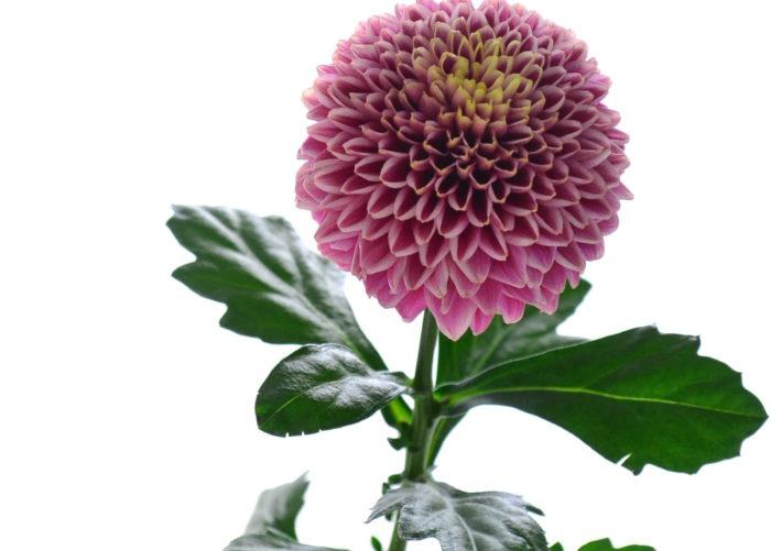 菊(マム)は、とても日持ちのする花材です。花だけでなく、葉っぱが傷んでいないマムを選びましょう。