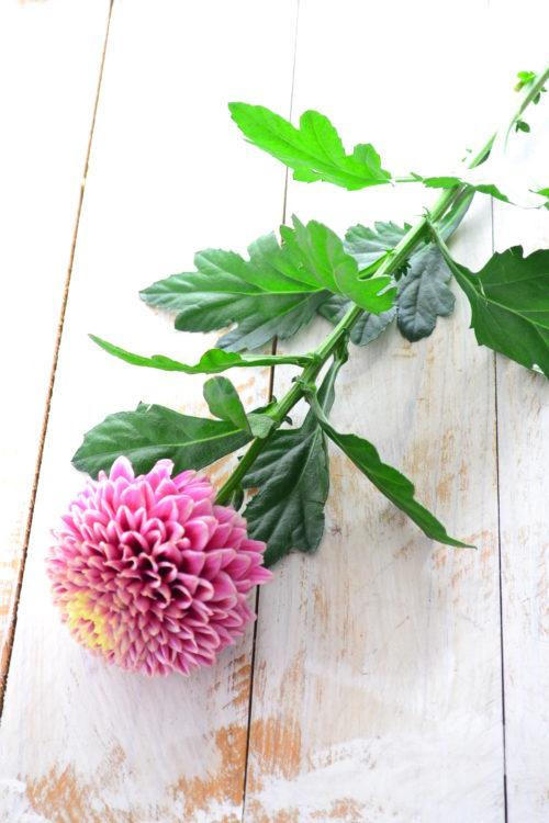 お正月の頃に生けた菊(マム)が、1カ月くらい日持ちするということもあります。  花よりむしろ日持ちしないのは、葉っぱです。生けて数週間すると、葉っぱが黒くなったりします。ある程度、葉っぱを取り去ってから生けた方がメンテナンスが楽です。