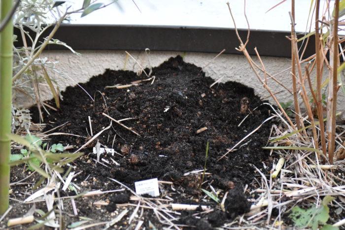今回は、外でしか管理ができないのでマルチングの方法をとりました。より確実な冬越しをしたい場合は、苗を掘りあげて適温の場所で管理する方法もおすすめです。環境に合わせて、来春芽が出てくるのを楽しみに、レモングラスの冬越しに挑戦してくださいね。