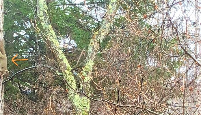 見づらいのですが、リスが庭に来た時の写真です。器用にカラマツを上ったり下りたり。奥のもみの木に巣があるようです。
