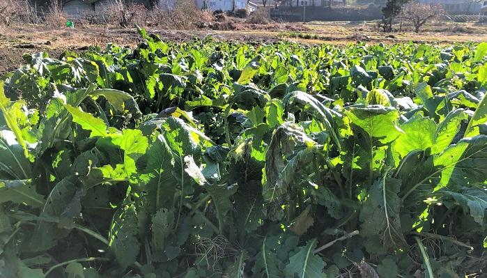 野沢菜はアブラナ科アブラナ属の二年生植物です。二年生植物とは、二年かけて成長する植物のことです。種子や実を収穫したい場合は二年生育しますが、野沢菜のように葉や茎を食用とする場合は一年で収穫します。二年草にはほかに、麦やパセリがあります。私は今回畑に行くまで、野沢菜の根がカブのようになっていることを知りませんでした。根元を見ると確かになにか土の中にありますね。