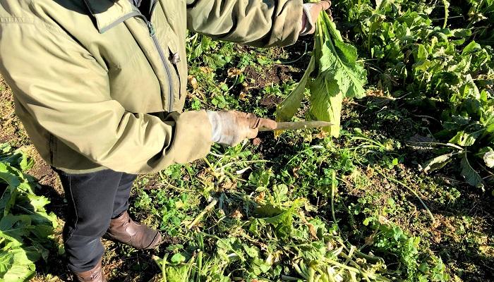 葉先が長ければ包丁で落とします。  あまり小さい株はお浸し用などに、そのままいただきました。