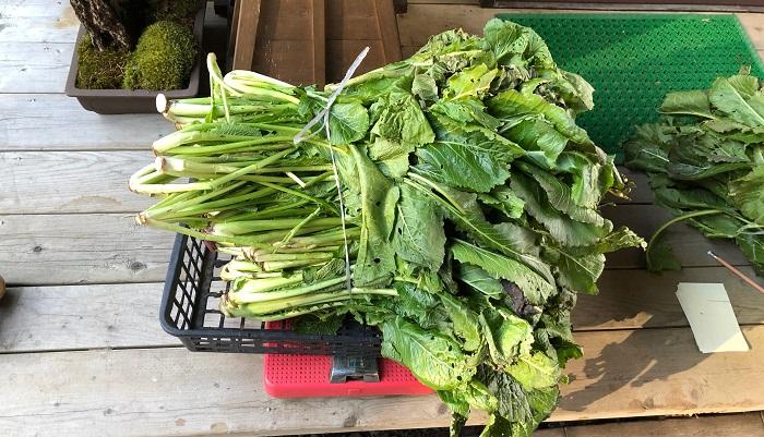早速、野沢菜を漬けていきます。今回、収穫させていただいた野沢菜は約6キロでした。塩を3%(180g)で漬けるそうです。