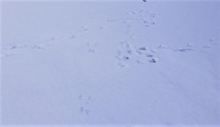 雪が降るとどうぶつの足跡が見つかります。この鹿は途中で方向転換をしたようです。