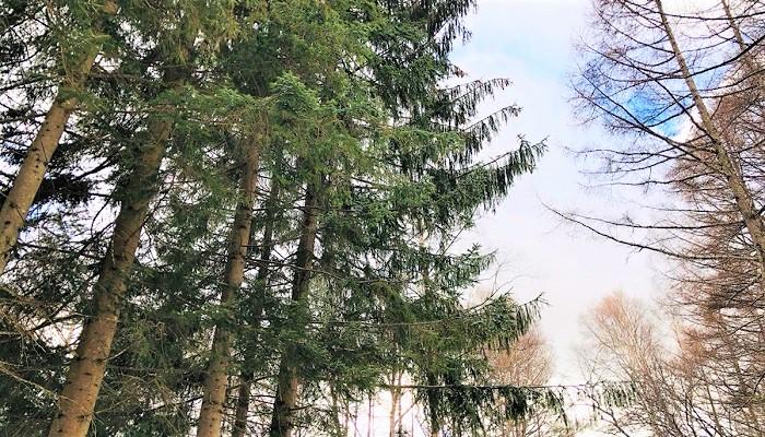 カラマツ林のなかに、オウシュウトウヒ(ヨーロッパトウヒやドイツトウヒとも言います)が並んではえていました。