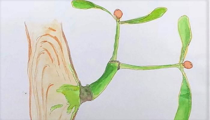 ヤドリギにあるのは寄生根とよばれる、寄主(きしゅ・寄生される木)から水分と栄養を取るための根です。