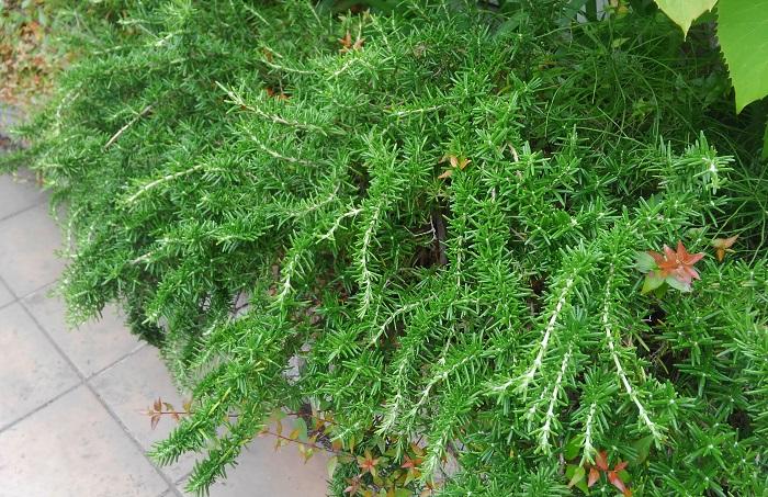 18 ローズマリー(這い性、ほふく性) シソ科 耐寒性常緑低木 観賞期:周年 開花期:8~4月 花色:青紫、白、ピンク 樹高:20~40㎝  ローズマリーは茎がほぼ垂直に伸びるタイプ(立ち性)と、横に広がって這うように伸びるタイプ(這い性、ほふく性)など姿が異なります。背が低めのグランドカバーに使いたい時は、横に広がって育つタイプをおすすめします。ちなみに立ち性のタイプは樹高50㎝~150㎝ほどです。  日当たりと風通しがよく、水はけのよい用土を好みます。水のあげすぎや茂りすぎて風通しが悪いと下葉が落ちることがあります。梅雨時期に収穫をかねて切り戻しましょう。挿し木、株分けでふやせます。ローズマリーの香りは、ふさいだ気分を明るくし、集中力を高めるとされています。