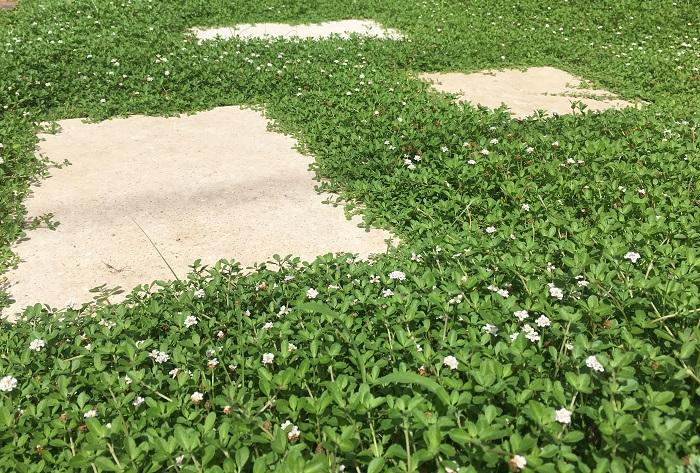 10 ヒメイワダレソウ クマツヅラ科 半耐寒性多年草 花期:6~9月 花色:白、ピンクなど 草丈:10㎝ほど  日あたりを好み、日陰や湿地は苦手です。繁殖力旺盛である程度の踏圧にも耐える強さがあります。繁殖力が強すぎて他の花の生育を妨げることもあるため、花が咲いても種ができないように品種改良されて増え方が穏やかな種類も出てきています。  冬は、地上部が枯れたり元気がなくなったりしますが、根は生きているので春になると再び芽吹きます。水やりは庭植えではほとんど必要ありません。3㎜ほどの花が10個前後密集し丸みを帯びた花となり咲きます。適度に剪定を行いましょう。