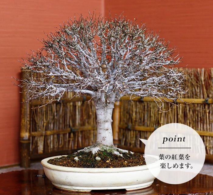 <雑木盆栽>葉物