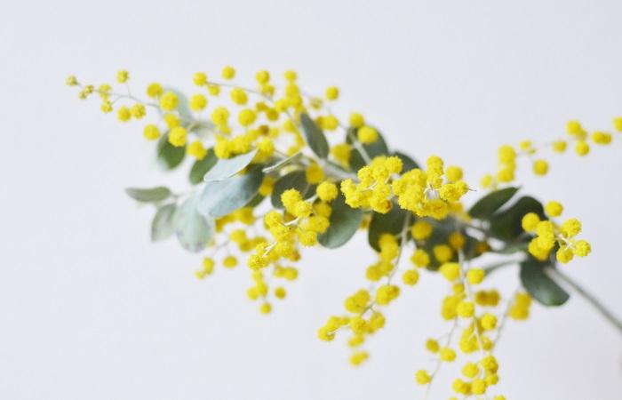 ミモザは春を告げる花としてヨーロッパでは大変人気があり、主要な産地のフランスのニースの西側にある海沿いの街モンドリューラナープルでは1931年から毎年2月にミモザ祭りが開かれています。この町はオーストラリアからもたらされたミモザの花を切り花として栽培、販売しており、1月~2月になると丘や庭園、街全体が金色に輝きます。祭りでは地元で栽培された10t前後のミモザを使って、毎年異なるテーマに従って飾り付けられた山車によるフラワーパレードや花合戦が開かれています。