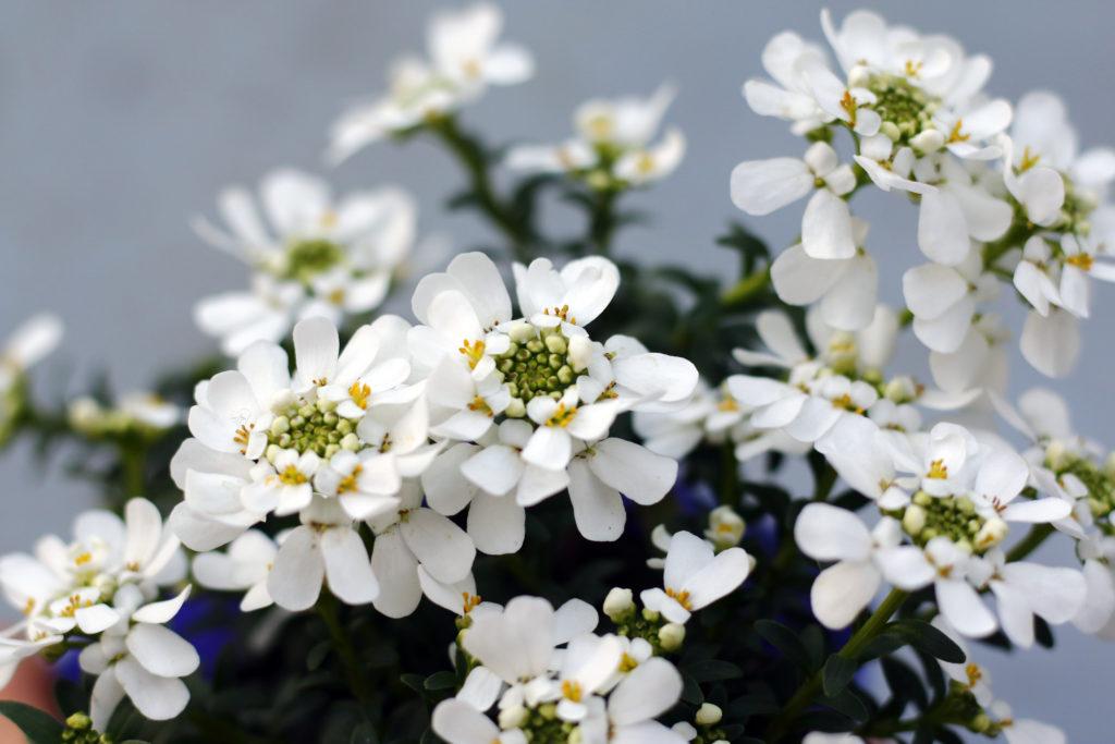 アブラナ科の宿根イベリス。耐寒性があり、庭植え・鉢植えに使われる人気の草花。