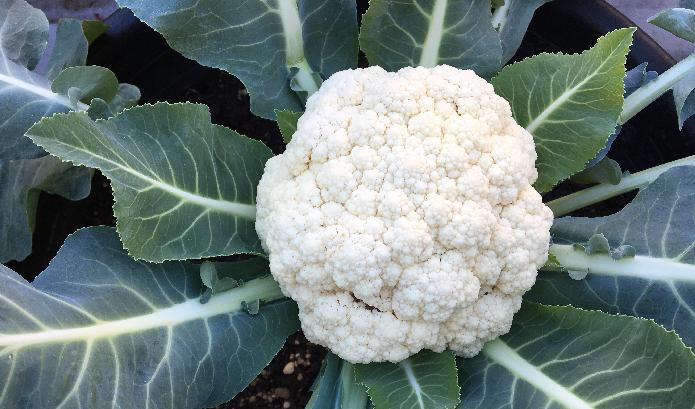 カリフラワーはブロッコリーの突然変異で花蕾部分が白くアルビノ化しています。白くてきれいな野菜です。  植え付け:8月下旬~9月上旬  収穫:11月下旬~