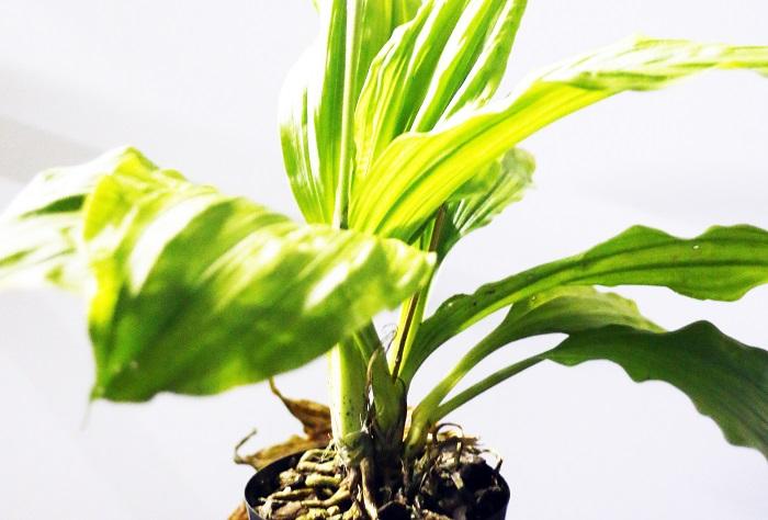 地生ランについて教えてください。 他の多くの植物と同様に地面に根を伸ばし成長するランのことを指します。