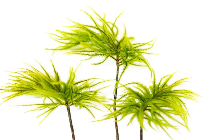 コウヤノマンネングサ 日本に自生している苔の中では一番大きいタイプの苔。存在感のある大きさで、まめな手入れが必要なこともあり、上級者向けの種類です。