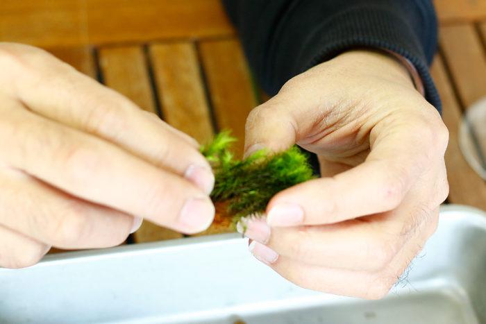 ③ピンセットで掴めるサイズに苔を分ける。