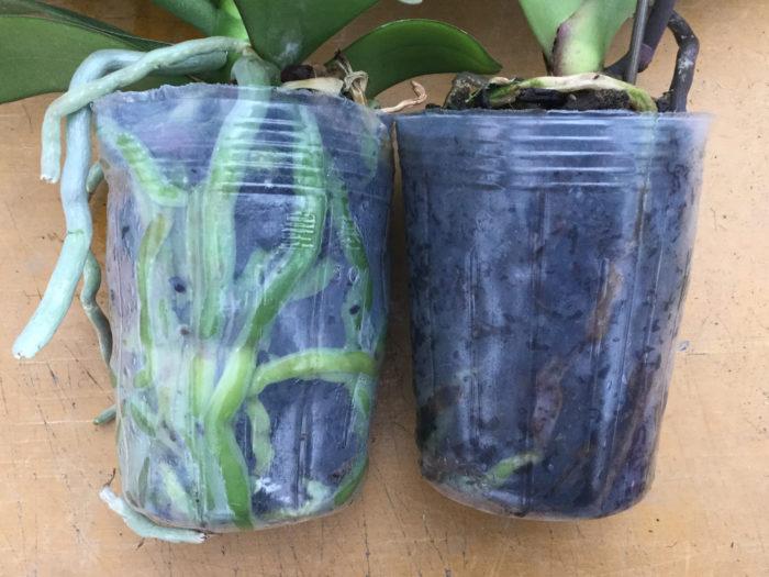 左が健康的な株、右が根腐れをした株です。基本的には水のやりすぎによる細菌感染が原因です。放っておくと症状が進行するので対処法としては腐った根を切り捨て、植え替えを行いましょう。