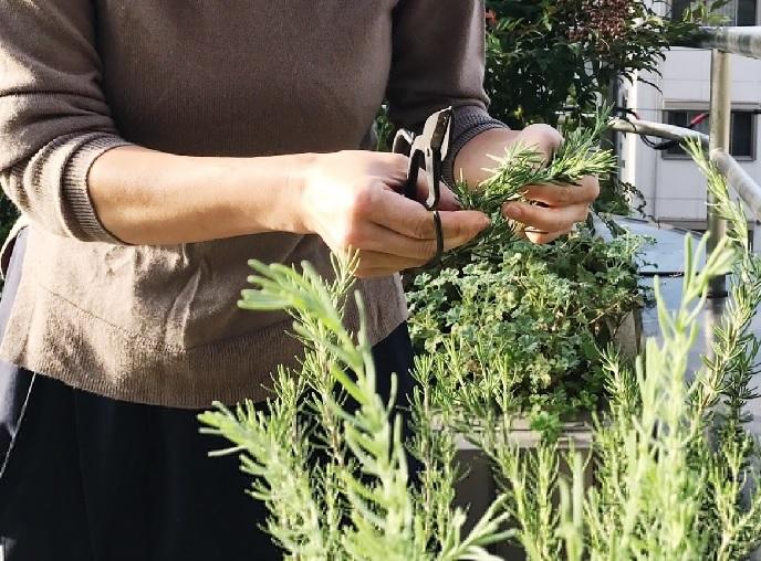 剪定はいつがいい? ローズマリーは常緑低木で、大きな株などは根元が木になっているのが見て取れると思います。(木質化)。新しい枝に花が付きやすい性質があるため、新しい枝が出てきたら古い枝を整理する意味でも剪定すると良いでしょう。剪定する時期も大切です。剪定する時期は花が咲き終わった後がおすすめです。ローズマリーの花期は4月~6月です。暑さが得意ではないので、7月にはいり気温が上がる前に剪定したほうが良いでしょう。